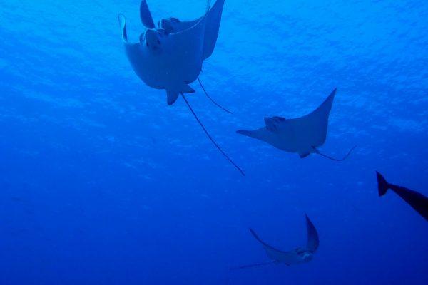 gangehi-diving-16